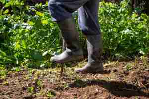 Man is digging spring soil with spading fork in a garden