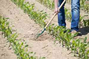 The worker hoeing the young corn field with hand tiller