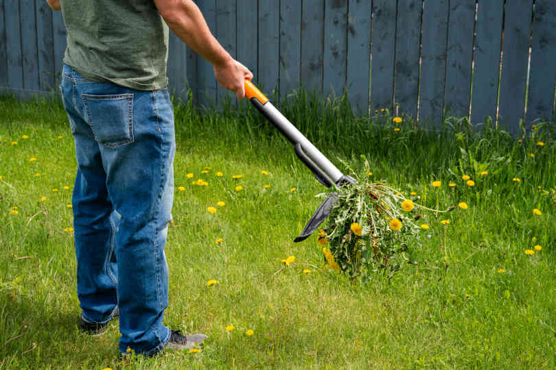 Man removing weeds dandelions from yard with stand up weeder