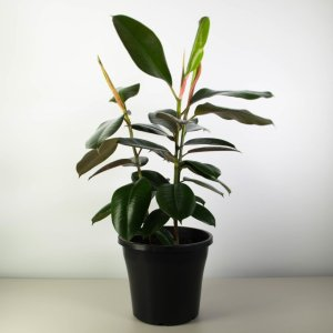 Classic Rubber Tree - Triple Planted, Ficus Robusta
