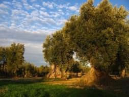 El Olivo: Planta Sagrada, Magica, Ancestral, Mediterranea