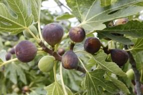 La Higuera y los Higos en medicina natural. Beneficios y propiedades
