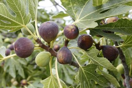 La Higuera y sus infrutescencias en medicina natural