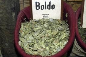 Boldo: propiedades beneficiosas y usos medicinales