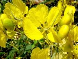 Acacia: cura garganta, hígado, dolores musculares, suaviza piel, etc.