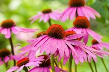 propiedades medicinales de la Echinacea o Equinacea