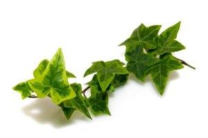 Hiedra: usos medicinales como expectorante, analgésico, anticelulítico, etc.