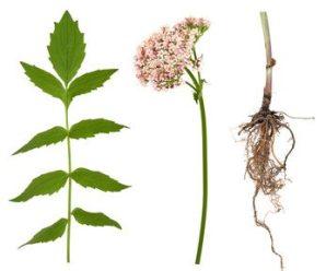Hojas, Flores y Raíz de Valeriana