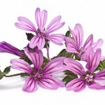 Malva: usos medicinales para cuidar las encías, la garganta, la piel y más