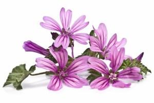 Desinflamar las Amígdalas con Malva y otros usos medicinales