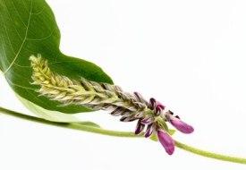 Pueraria lobata o Kudzu. Propiedades y usos en la Medicina Tradicional