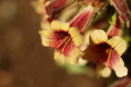 Propiedades de la Rehmannia glutinosa