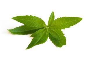 Propiedades Medicinales del Cedrón. Beneficios y contraindicaciones