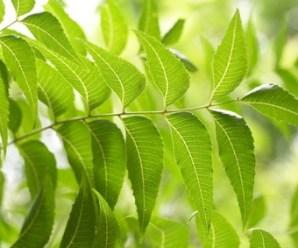 Árbol de Neem: propiedades beneficiosas para acidez, diabetes, artritis, curar la piel…