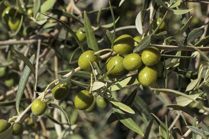 Hojas de Olivo: Propiedades Medicinales y Beneficios para la Salud