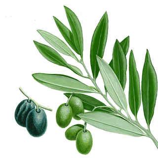 Resultado de imagen de olivo