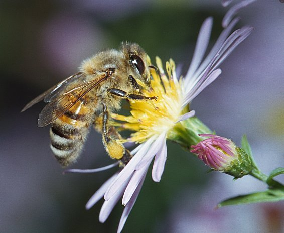 apis_mellifera_by_mark_cassino_1999