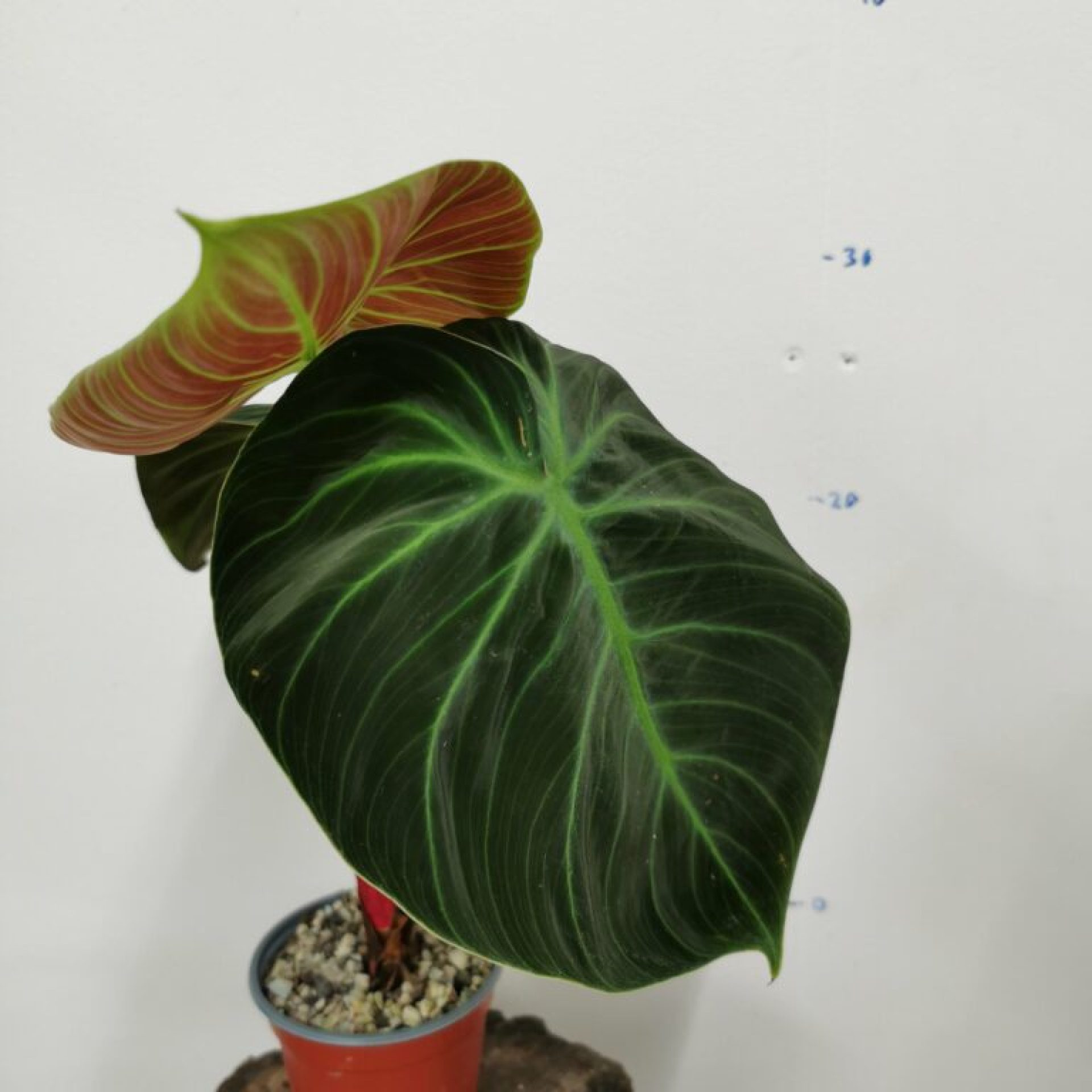 Philodendron El choco red