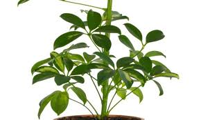 Cheflera (Schefflera actinophylla) 2