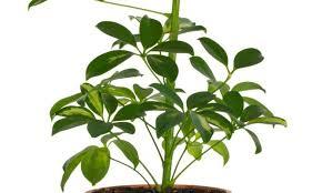 Cheflera (Schefflera actinophylla)