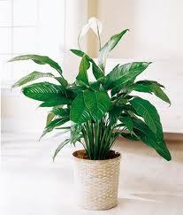 Espatifilo (Spathiphyllum wallissi) 2