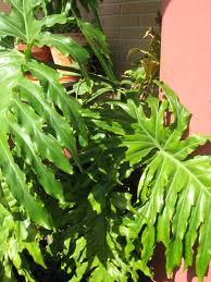 Filodendro paraguayo (Philodendron bipinnatifidum) 2
