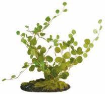 Helecho botón (Pellaea rotundifolia) 2