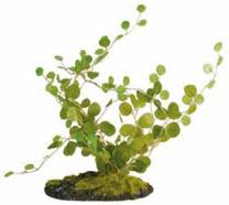 Helecho botón (Pellaea rotundifolia)