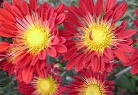 Crisantemo híbrido (Chrysantemum hybridum)