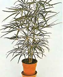 Dizygotheca (Dizygotheca elegantissima)