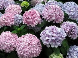 Hortensia (Hydrangea)