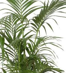 Kentia (Howea forsteriana)