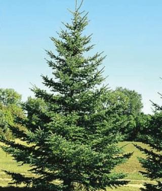 Abeto (Picea abiens)