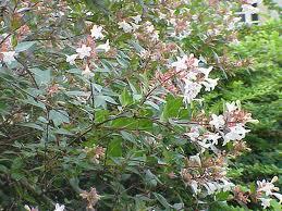 Abelia Floribunda 1