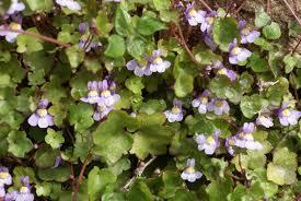 Linaria cymbalaria 1