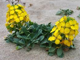 Alheli_amarillo