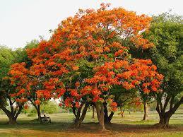 """Delonix regia (""""Framboyán"""") Un árbol a todo color 3"""