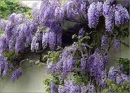 La Glicina (Wisteria sinensis): una planta trepadora muy atractiva