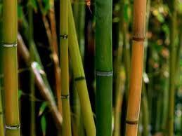 "Bambú (""Los bambúes"") 3"