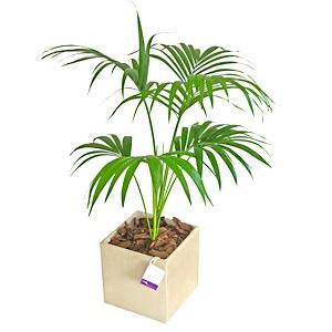 Kentia howea forsteriana la palmera m s popular - Plantas de interior palmeras ...