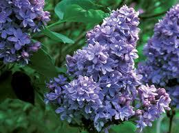 El Lilo (Syringa vulgaris) 1