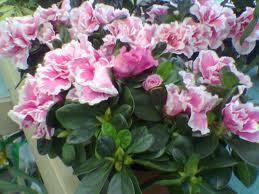 "Azalea Indica (""Rhododendron indicum"")"