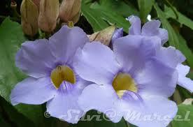 """La Bignonia azul (""""Thunbergia grandiflora"""") 3"""