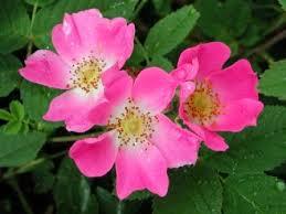 Rosal Silvestre ó Rosa Canina
