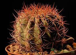 Denmoza ('Denmoza rhodacantha') 1