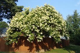 "Paniculata (""Gypsophila paniculada"") 3"