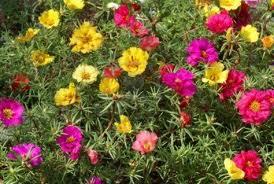 """Portulaca o Flor de un día (""""Portulaca grandiflora"""")"""