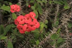 """Corona de espinas, Espina de Cristo (""""Euphorbia milii"""") 1"""