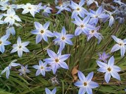 "Ipheion: Wisley Blue (""Ipheion uniflorum"") 1"