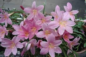 """Cefirante, Lirio de lluvia (""""Zephyranthes carinata"""") 4"""